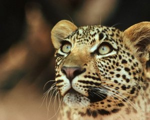 Leopard-02